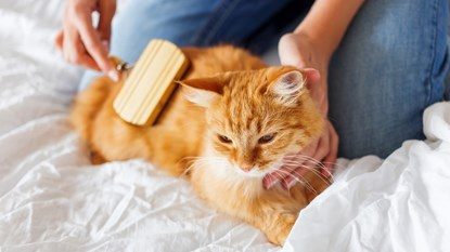 ginger cat being brushed by owner