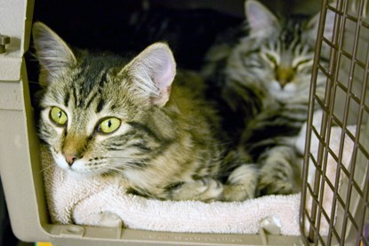 two tabby cats in cat carrier