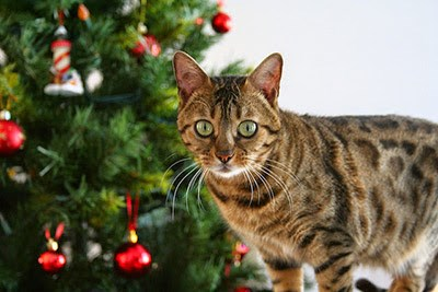 Tabby cat in front of Christmas tree with decorations