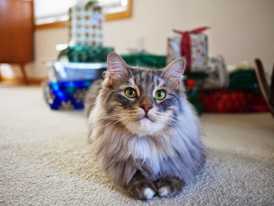 Longhaired grey cat in front of Christmas presents