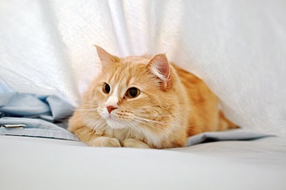 ginger cat hiding under white bed covers
