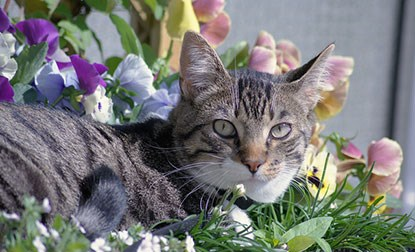 tabby cat lying in flowers outdoors