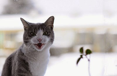 white and grey cat meowing with snowy background