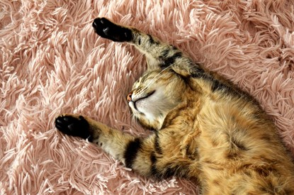 brown tabby cat lying on back with paws in the air on pink rug
