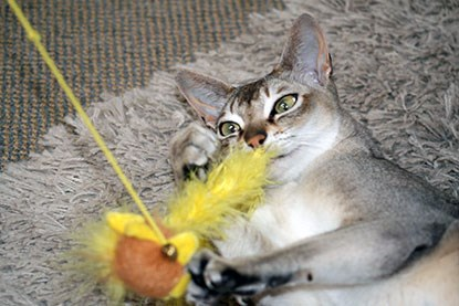 grey oriental cat playing with yellow feather toy