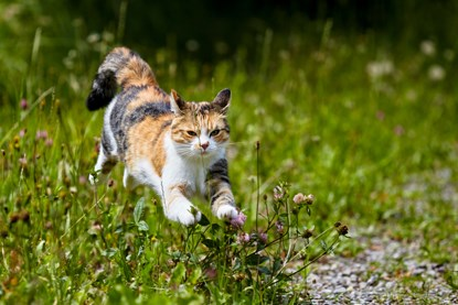white, ginger and grey cat running through long grass in a field