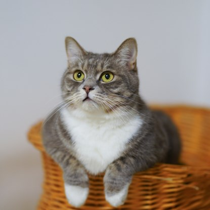 grey and white cat sitting in wicker basket