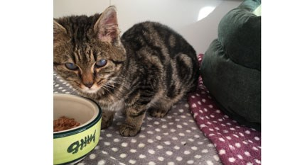 tabby cat with food bowl