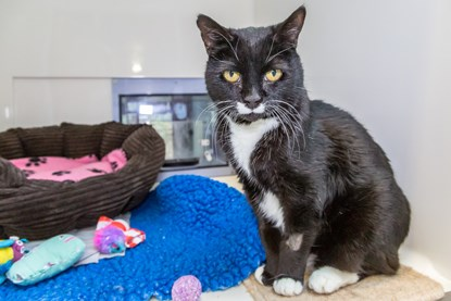 black and white cat in Cats Protection adoption centre pen