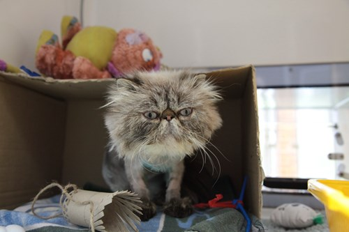 grey Persian cat sitting in cardboard box