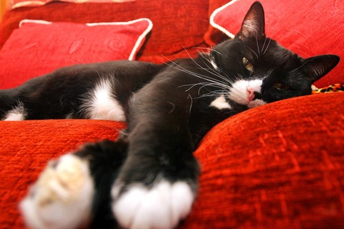 Black and white cat lying on red sofa