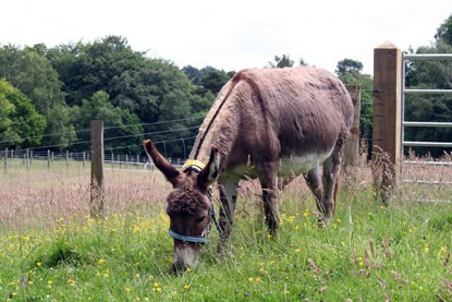 brown donkey eating grass in paddock