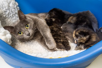 grey cat with litter of grey and white kittens and tortoiseshell kittens