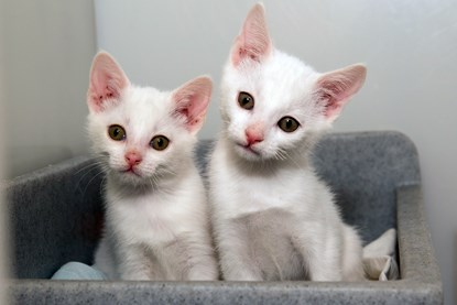two white kittens in grey cat bed