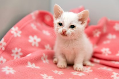 white kitten on pink blanket