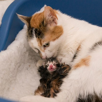 tortoiseshell cat with newborn kitten