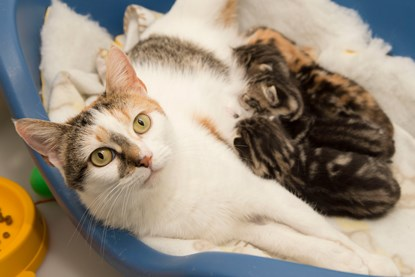 tabby-and-white cat feeding a litter of kittens