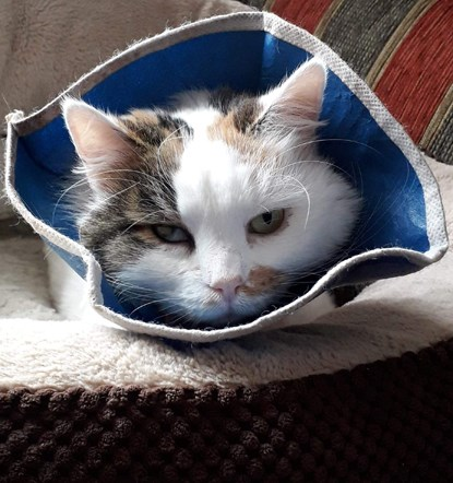 tabby and white cat wearing cone collar