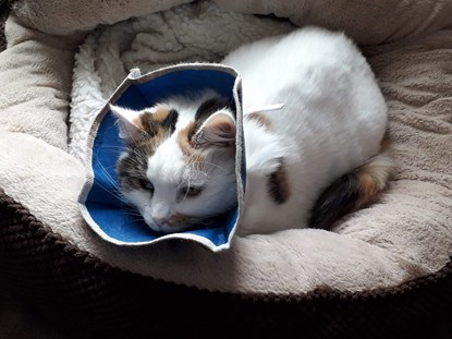 tabby and white cat wearing a cone collar in cat bed