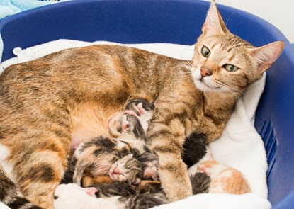 brown tabby cat with litter of newborn kittens