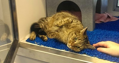 tabby cat laying in adoption centre cat pen