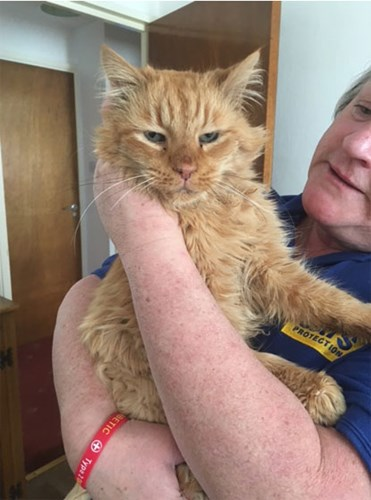 elderly ginger cat being held by Cats Protection volunteer