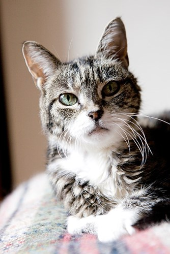 elderly tabby cat