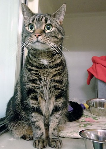 tabby cat sitting in adoption centre pen