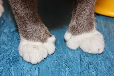 Paws of a grey-and-white polydactyl cat