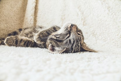 tabby cat asleep on white blanket