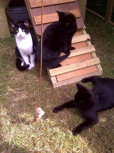 Three feral black and black-and-white cats in a barn home