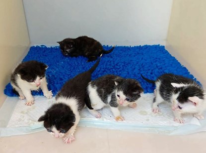 four black-and-white kittens and one tortoiseshell kitten in a cat pen