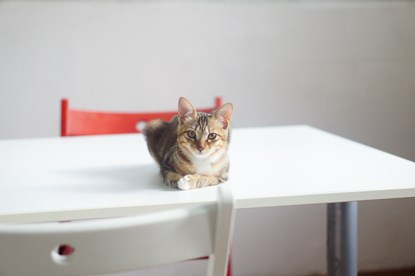 tabby cat lying on white table