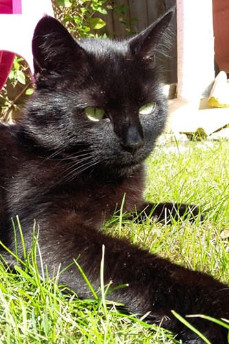 black cat sunbathing in the garden