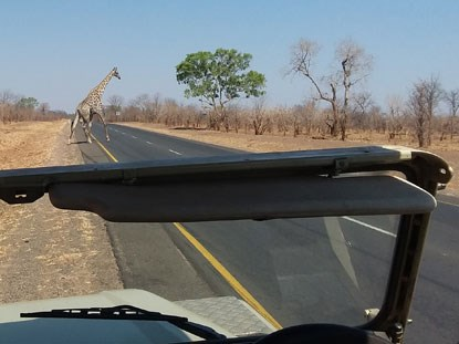 view from a jeep of a giraffe crossing the road