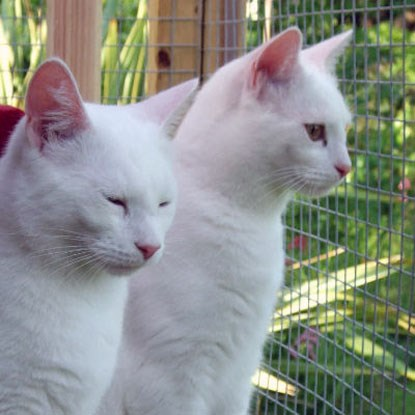 two white cats in outdoor pen