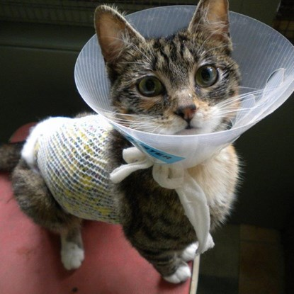 tabby kitten in cone collar