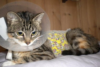 tabby kitten in cone collar and medical vest