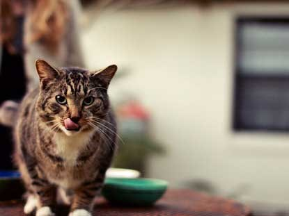 tabby cat licking lips and walking away from food bowl