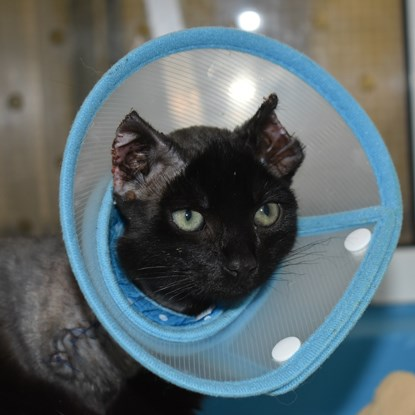 black cat wearing cone collar with burned ears