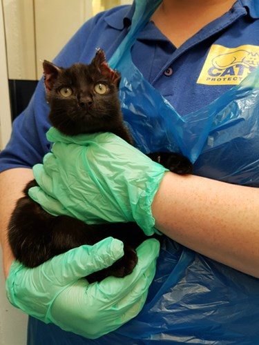 black cat with injured ears held by Cats Protection volunteer