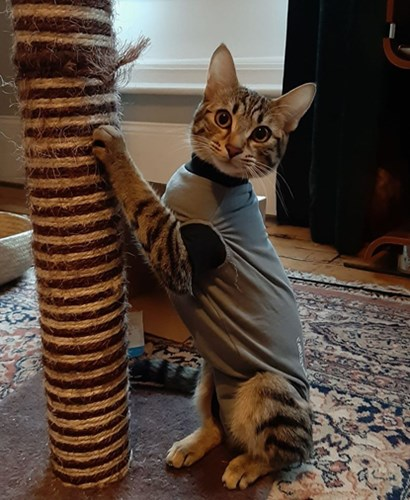 tabby cat wearing vest and scratching scratch post
