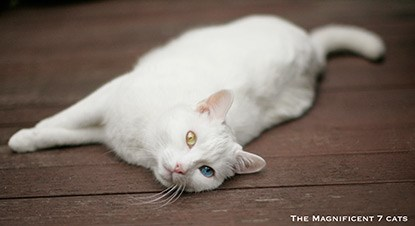 White cat lying on wooden decking