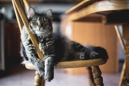 grey longhaired tabby cat sitting on wooden chair