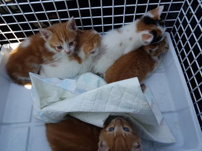 ginger and white kittens in cat basket