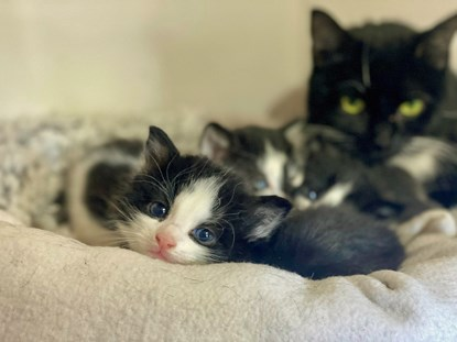 black-and-white kitten with littermates and mother cat