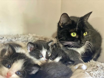 black-and-white mother cat with litter of black-and-white kittens