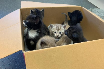 black-and-white kittens and grey-and-white kittens in cardboard box