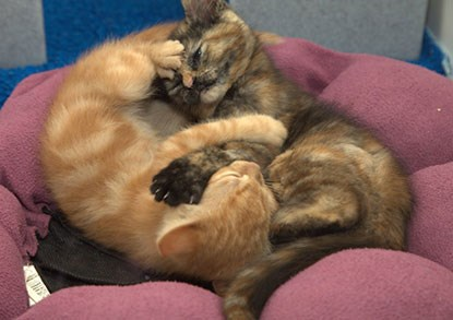 Ginger and tortoiseshell cats cuddled together in a cat bed