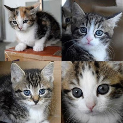 collage of four tabby and white kittens